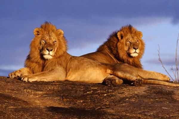 Дьявольские кенийские львы