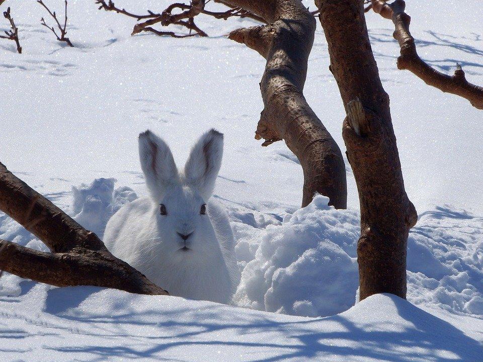 В Канаде зайцы-беляки поедают тела мертвых сородичей