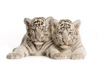 Белые тигры 28