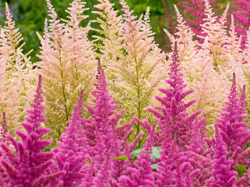 Метёлки цветы