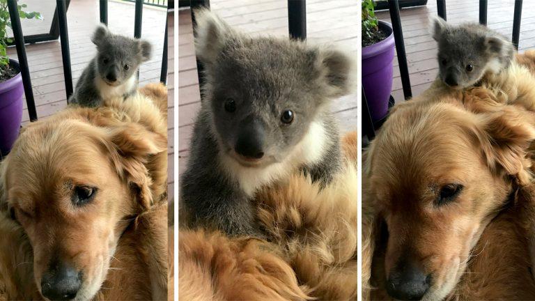 В Австралии золотистый ретри…
