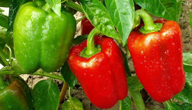 В августе можно увеличить урожай перцев