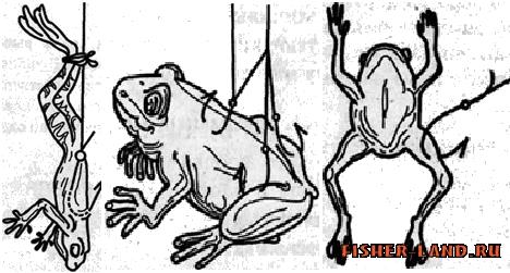 как ловить на живую лягушку
