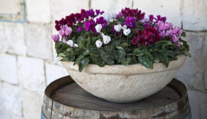 Цикламен - растение, которое спит летом и цветет зимой