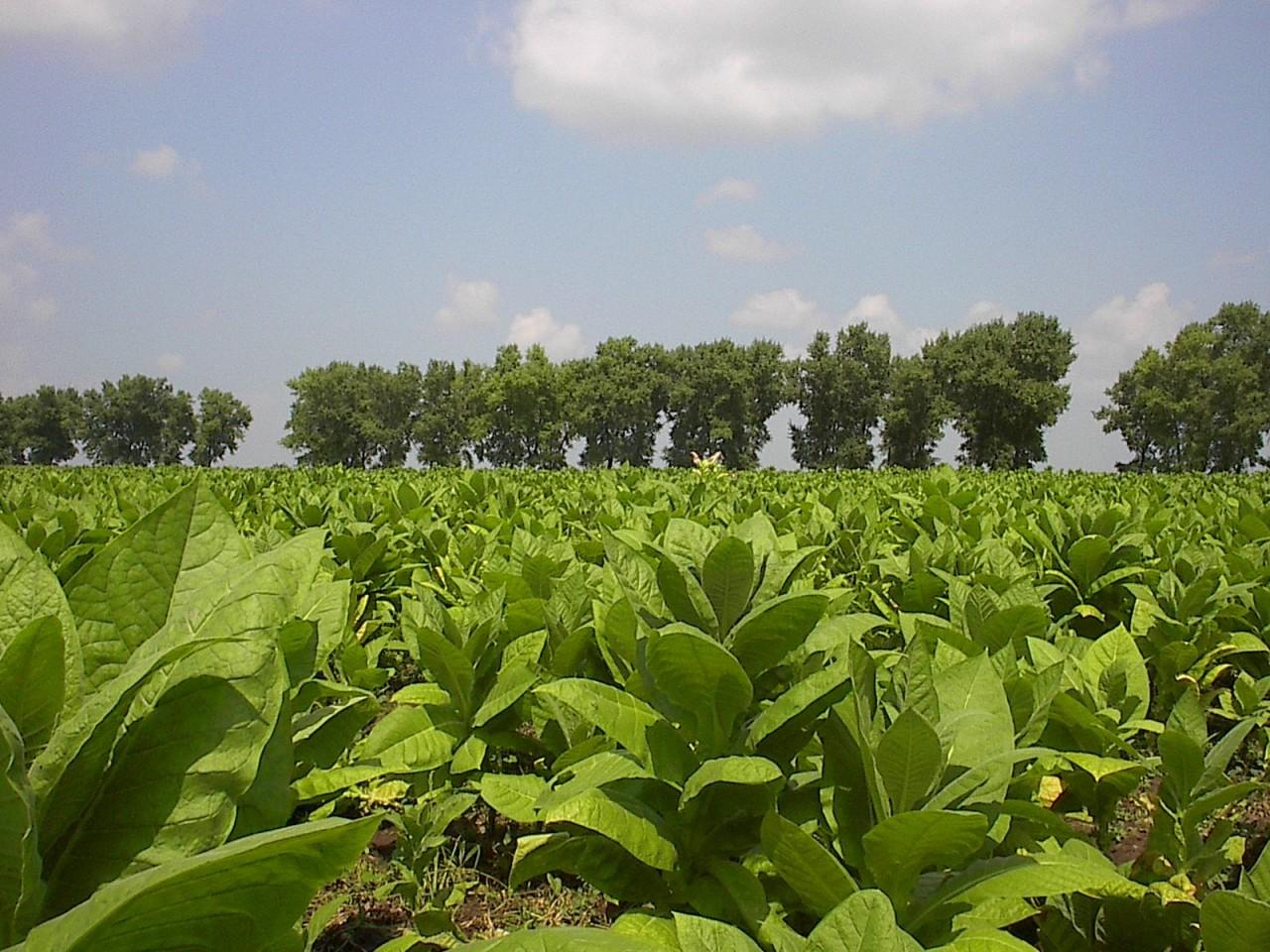 Выращиваем табак 95