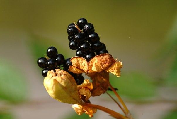 Беламканда: ежевичная лилия с листьями ириса