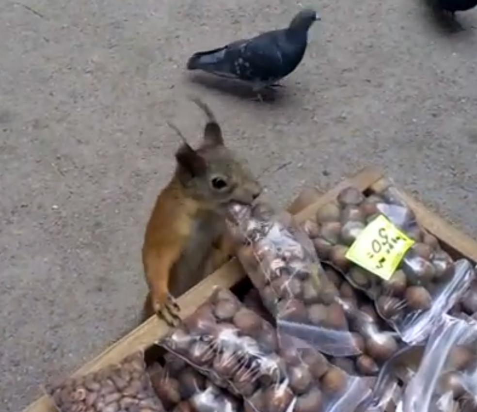 Они решили посмотреть, сможет ли белочка стащить орешки с прилавка. И вот, что из этого вышло