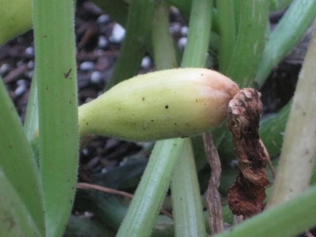 Начинающий гнить молодой плод кабачка