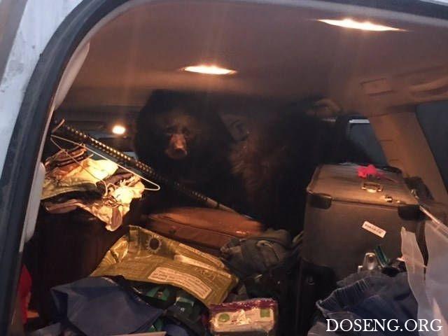 Три медведя в машине как нап…