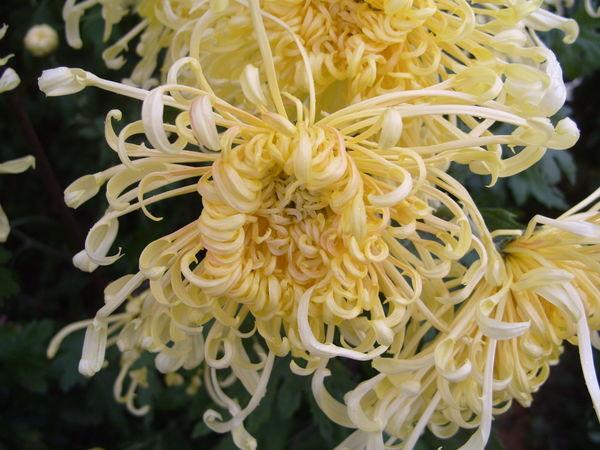 Хризантема сорт Путь всегда будет Солнце
