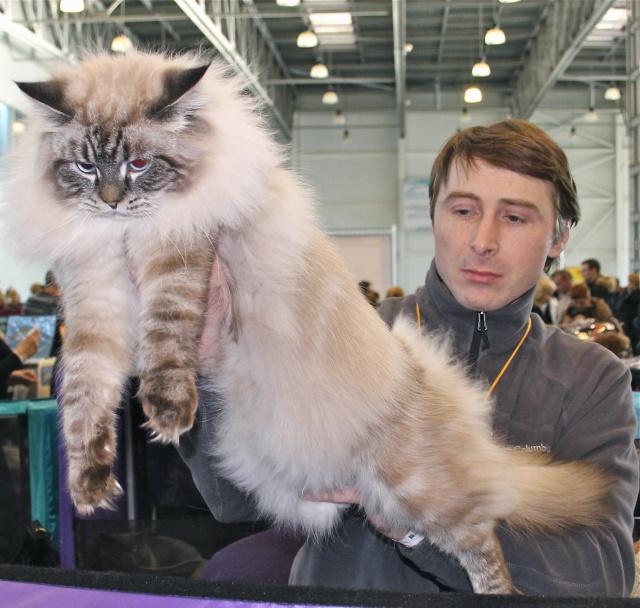 Кот сибирский маскарадный