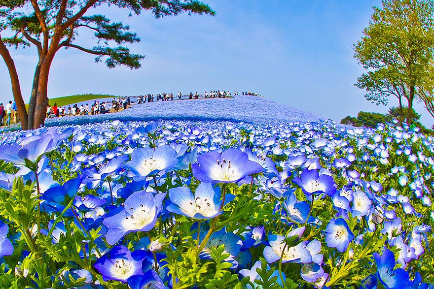 nemophilas-field-hitachi-seaside-park-6
