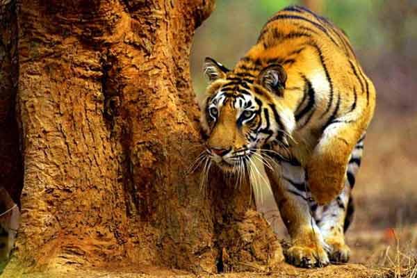 Шампаватская тигрица