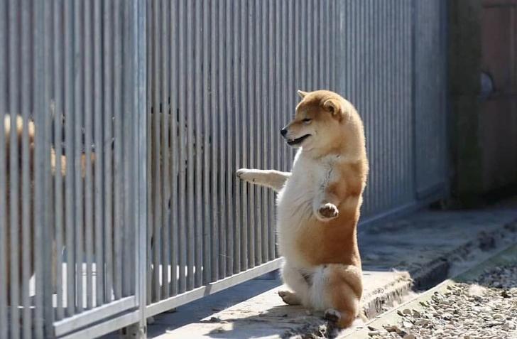 20 причин влюбиться в собак шиба-ину окончательно и бесповоротно