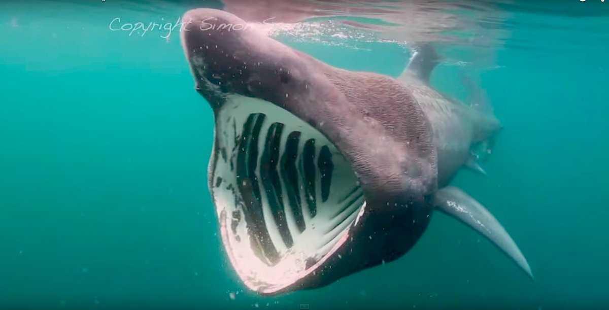 Китовые акулы не кусаются