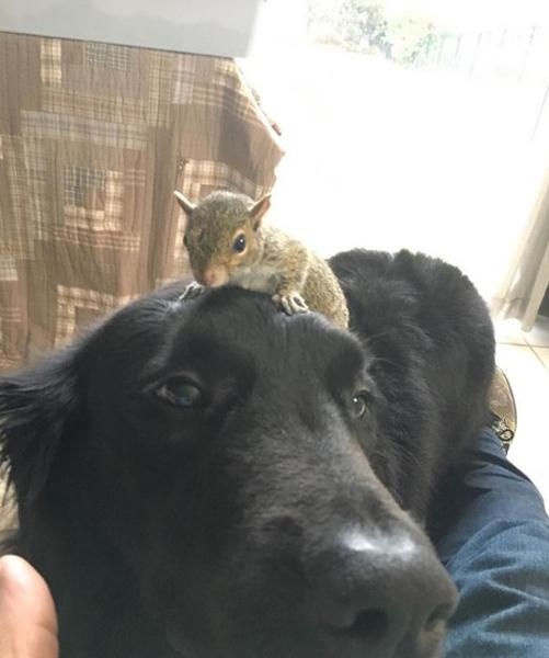 Выжив во время страшного урагана, бельчонок попал в дом к огромным собакам и сумел подружиться