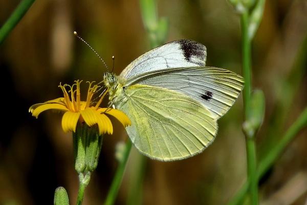 Берегись: бабочка белянка