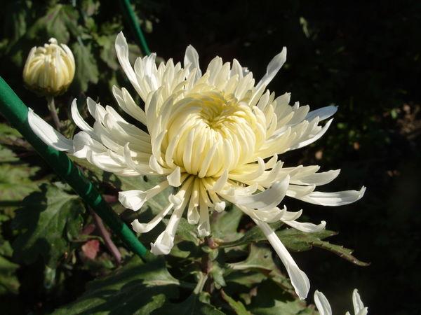 Хризантема сорт Космос