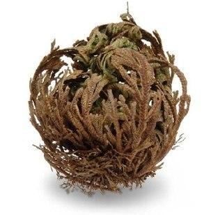 Растение, которое воскресает из мертвых