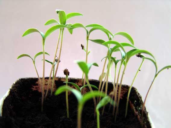 Если не взошли семена