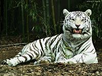 Белые тигры 2