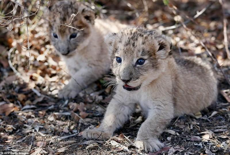 """В Южной Африке родились первые в мире львята """"из пробирки"""""""