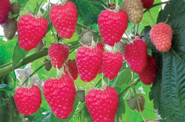 9 секретов хорошего урожая малины
