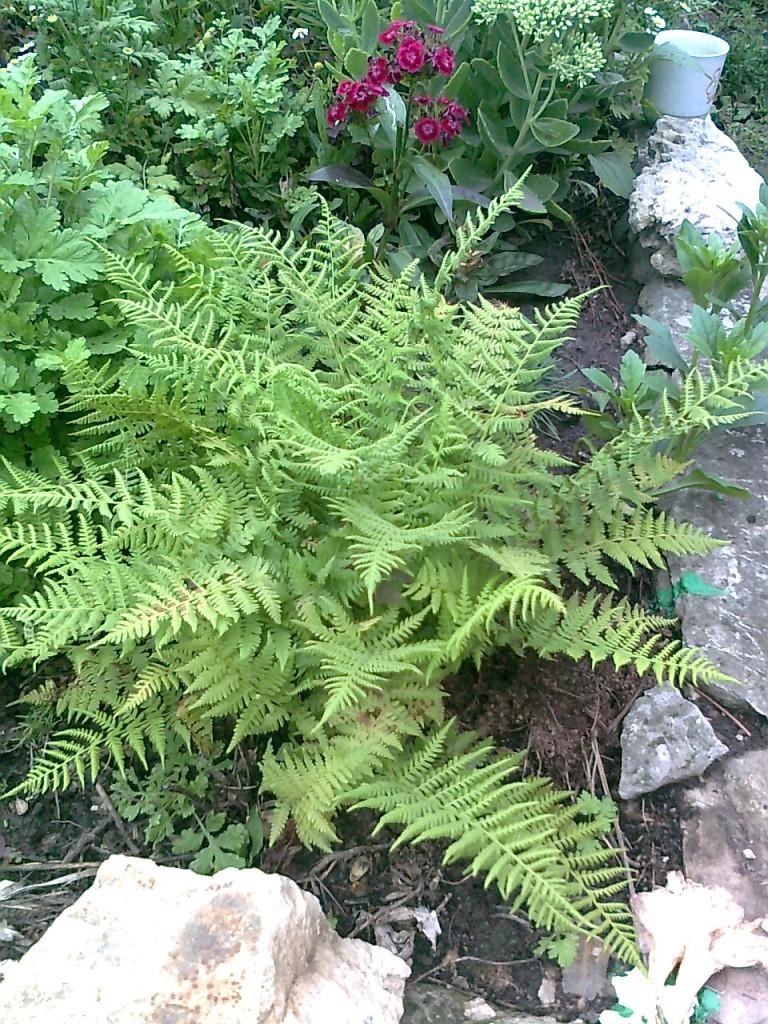 Папоротник. Растения из леса в вашем саду