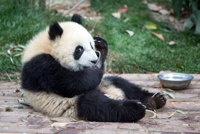 Смешная маленькая панда.