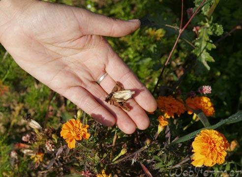 Когда собирать семена бархатцев? - форум: вопрос-ответ WebFe…