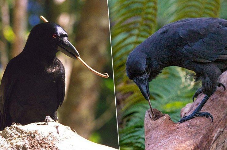 Вороны-крючкотворы: сногсшибательное открытие британских биологов!