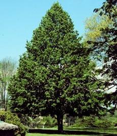 Липа сердцевидная, или зимняя мелколистная липа (Tilia cordata)