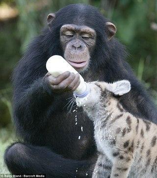 Шимпанзе Аньяна, ухаживающая за детенышами...