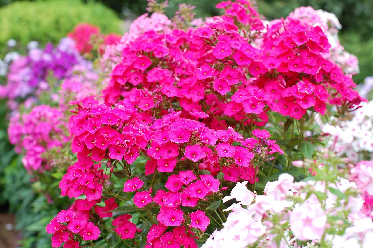 Неприхотливые цветы для вашего сада