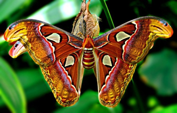 Самая большая в мире бабочка ...