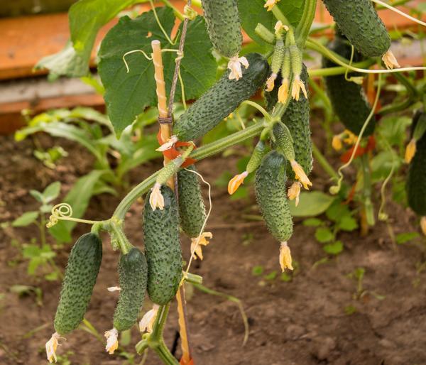 Огуречная пора: сеем на рассаду скороспелые гибриды букетного типа