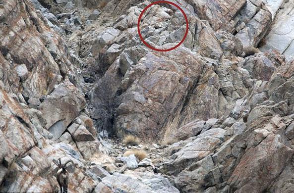 «Найди кота»: В Гималаях сфотографировали редкого снежного барса за охотой