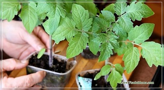 как бороться фитофторой у помидор