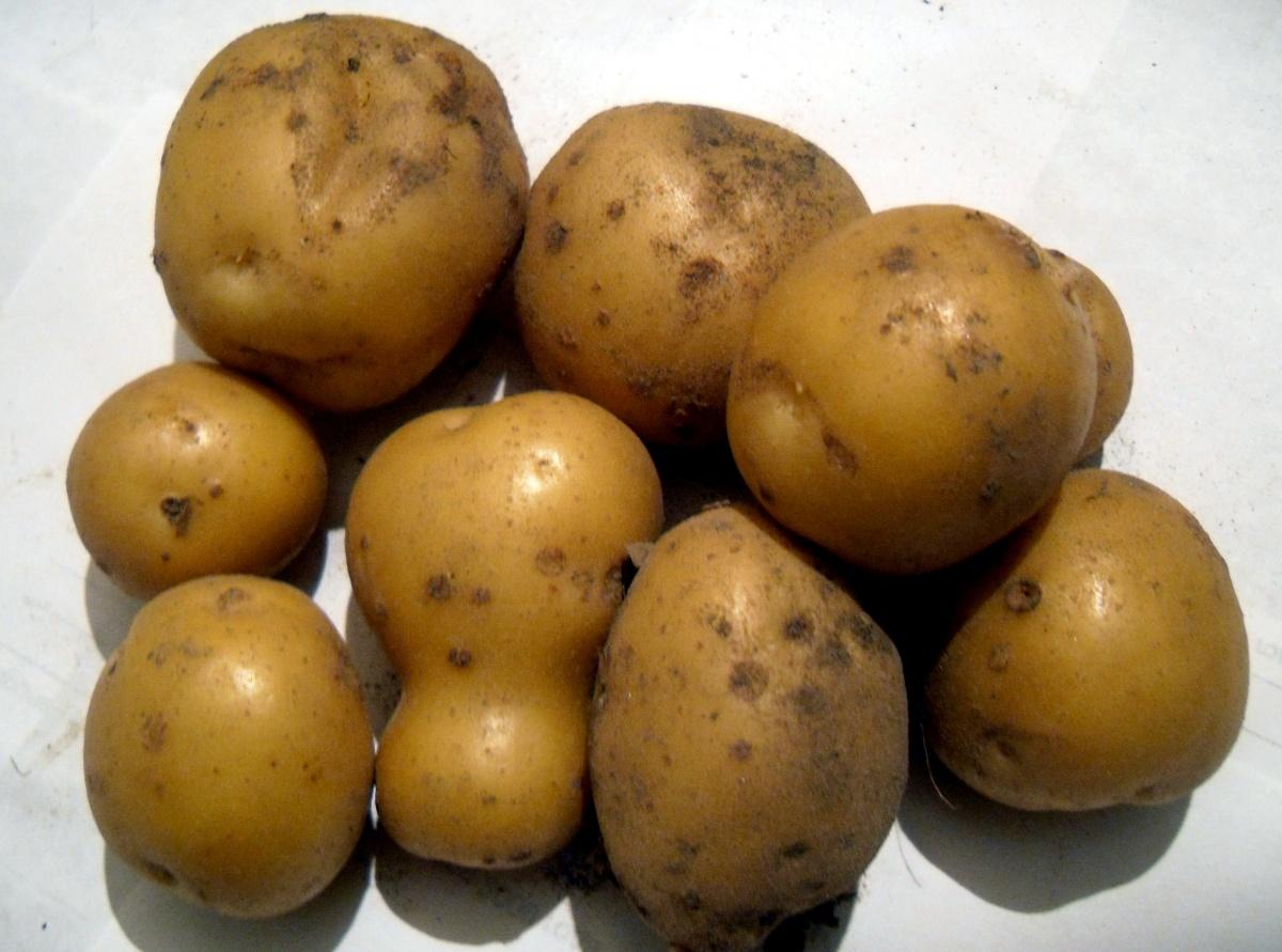 надо поливать картофель