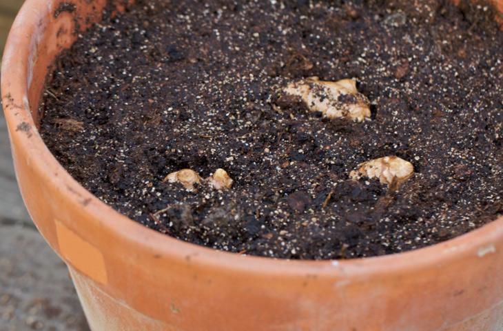 Больше не покупаю имбирь — выращиваю дома сама