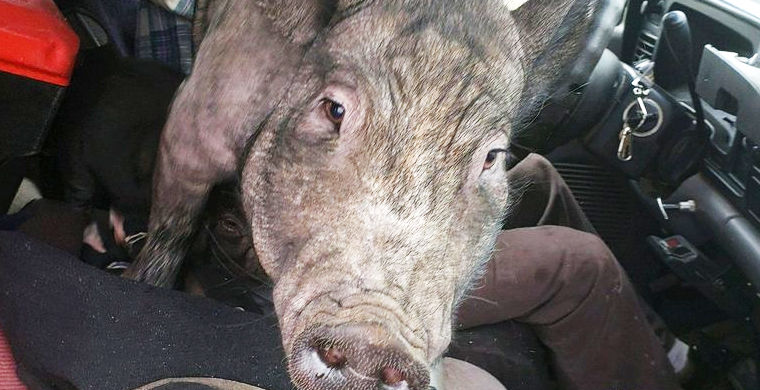 Полицейские остановили машину со свиньей за рулем