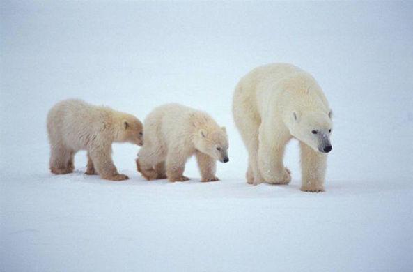 Более десяти белых медведей с медвежатами окружили село на Чукотке
