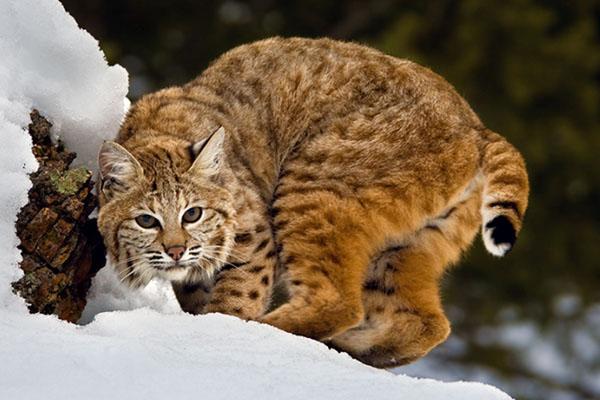 Дикие кошки, прекрасные и опасные.