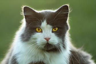КОШКИН ДОМ. Окрасы кошек. Двухцветная кошка