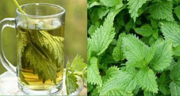 «Зеленая крапива»: один лист этого растения лечит вашу простату и мгновенно устраняет диабет