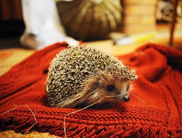Ветеринары из Ростова-на-Дону спасли от смертельного заболевания маленькую ежиху