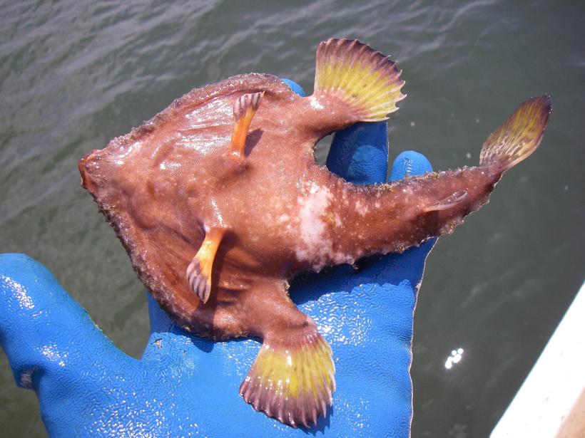Удивительные рыбы, которые не плавают, а ходят по дну