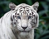 Белые тигры 4