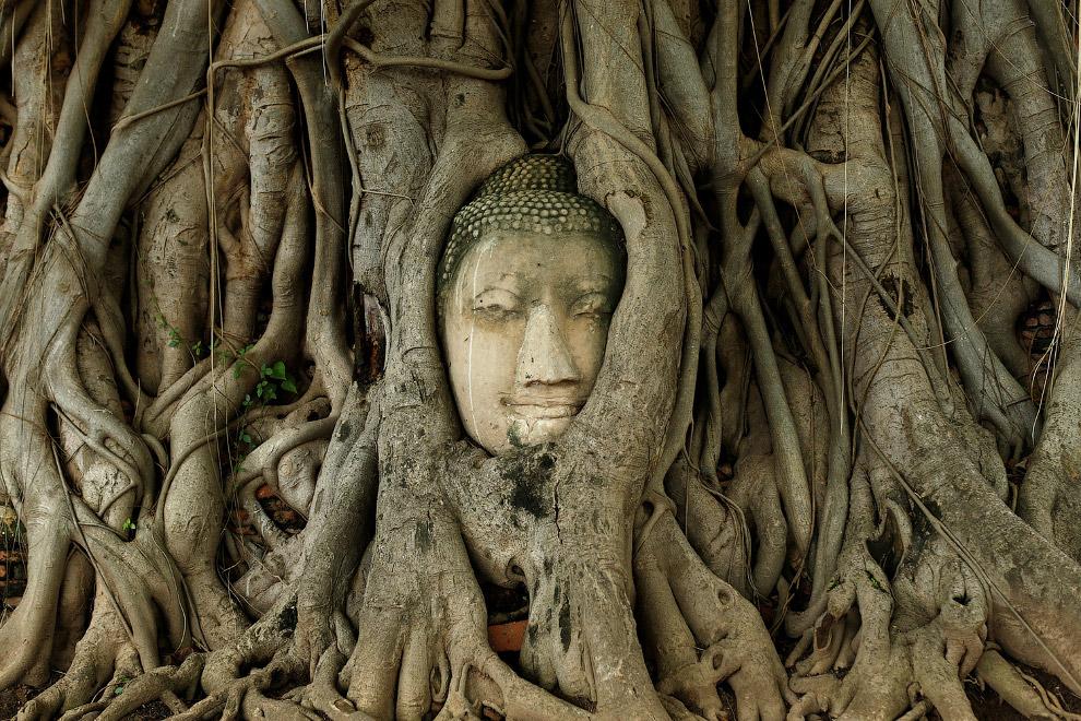 Голова Будды переплелась с корнями дерева в руинах древнего города Аюттхая, Таиланд