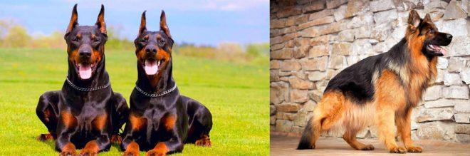 10 лучших собак — охранников, которые знают свои обязанности